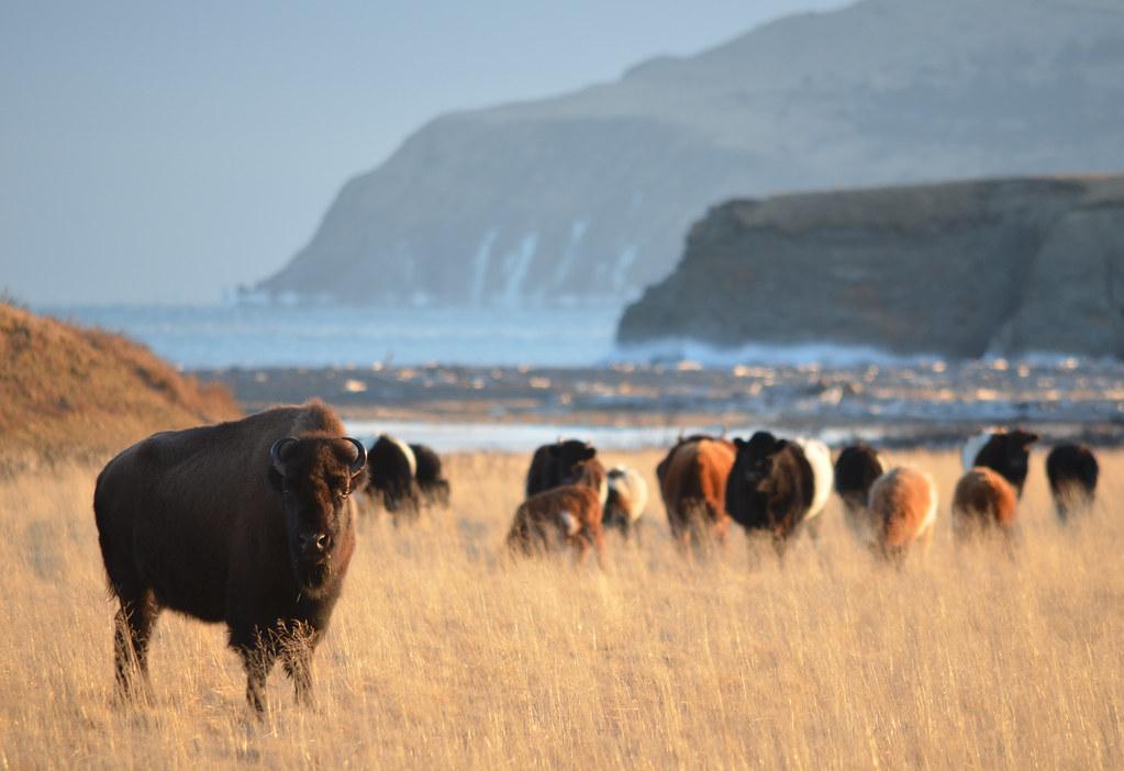 Kodiak Island bison
