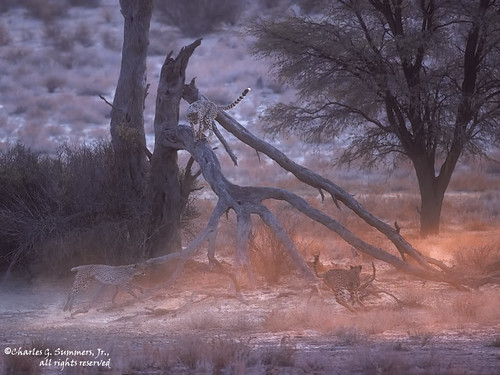 Cheetah siblings playing king of the log in the Kgalagadi