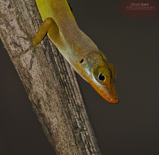 Lizard On Coconut tree