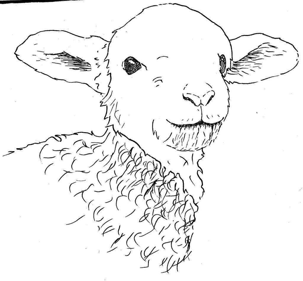 Lamb Drawing Sketch In Progress Of One Of Last Years Lambs