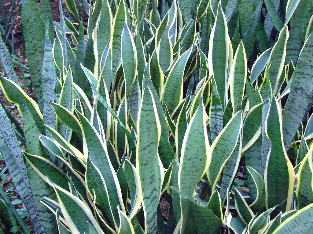AGAVACEAE 龍舌蘭科 - Variegated Snake Plant (Sansevieria trifasciata cv.) 黃邊虎尾蘭