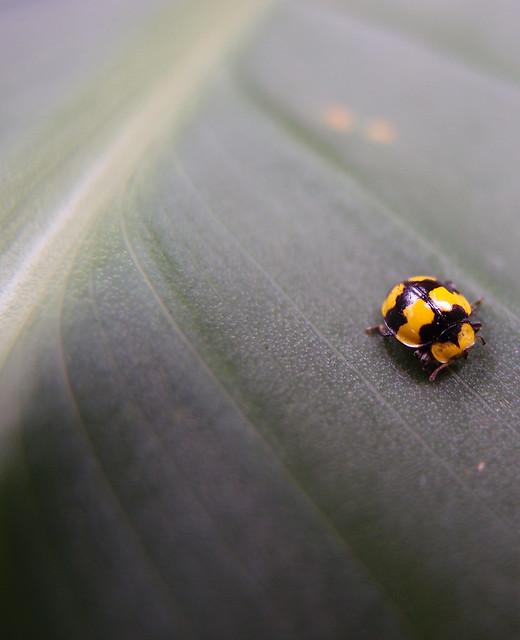 Fungus-Eating Ladybird (yellow/black) sitting on a leaf