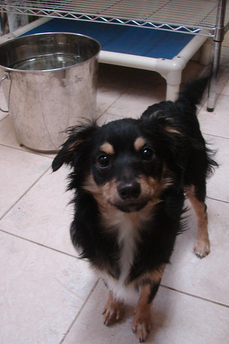 Long+hair+jack+russell+chihuahua+mix