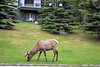 Banff back yard Elk