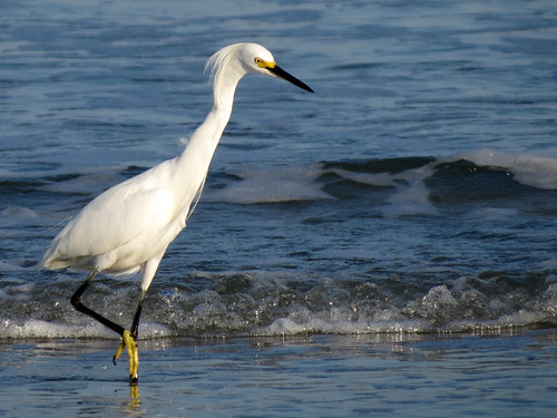 Snowy Egret | intent