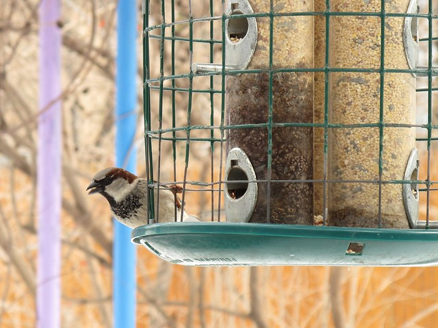 A male house sparrow at the bird feeder. Stand still near the feeder and watch the sparrows feast. Photo by Ashley Gamell.