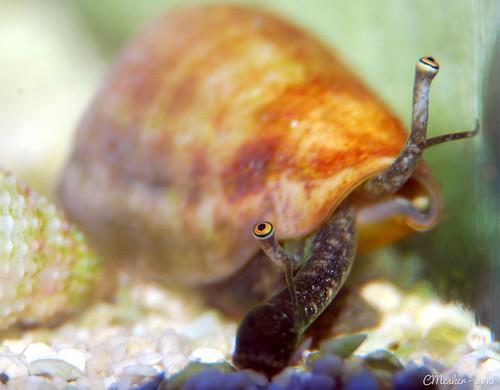Conch Snail - 4/52