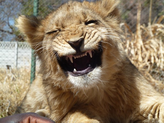 'Smiling' lion cub | Antilope Park, Gweru. | By: Mark ...