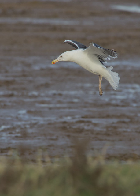 black backed gull in flight da300m + 1-7x