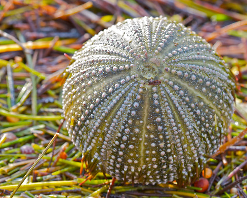 Urchin shell on the beach by alumroot