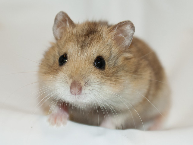 Black Eyed Argente hamster
