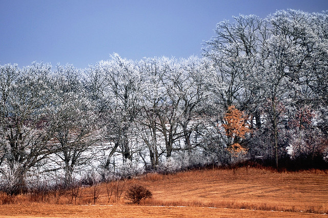 Trees Painted White by Freezing Temperatures