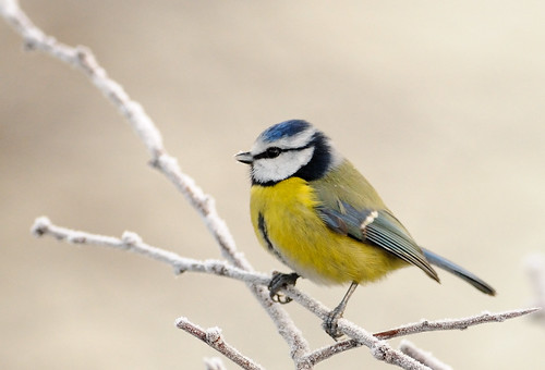 無料写真素材, 動物 , 鳥類, アオガラ