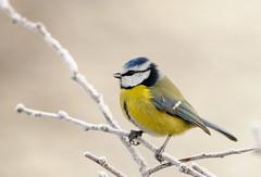 [フリー画像素材] 動物 2, 鳥類, アオガラ ID:201202070400