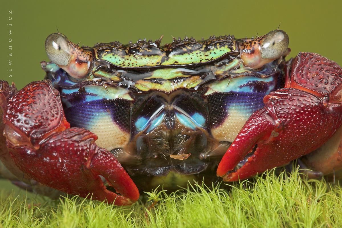 Mangrove_crab_by_Blepharopsis