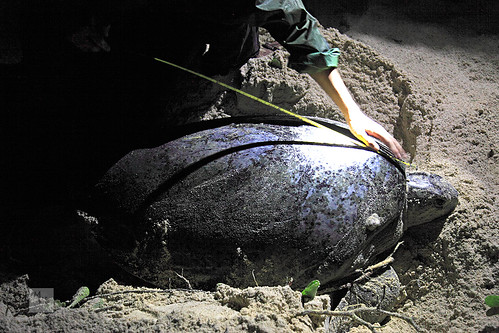 Green turtle being measured after laying eggs, Pulau Selingan (turtle island), Borneo, Malaysia