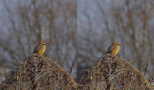 Lanius bucephalus, stereo parallel view