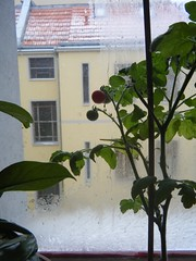 wintertomate