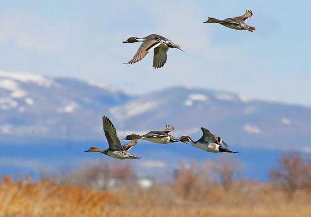 Ánades rabudos volando sobre el River Migratory Bird Refuge. Utah.