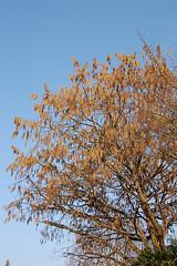 Baum-Hasel_I_DSC_4755