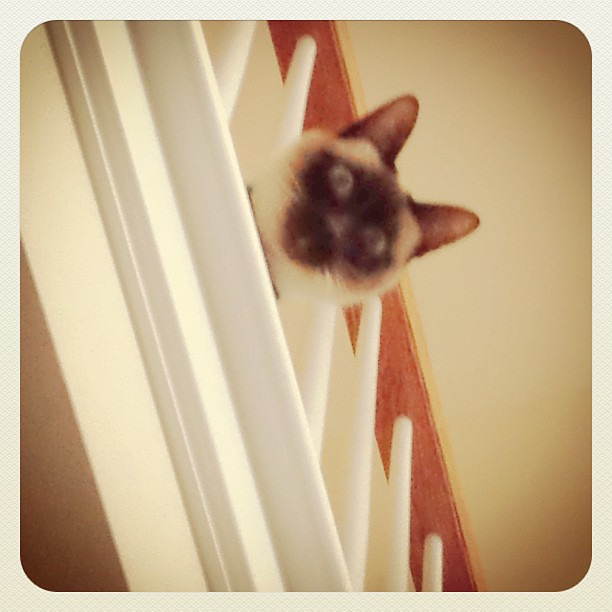38/365+1 Somebody's Watching Me #cat #siamese