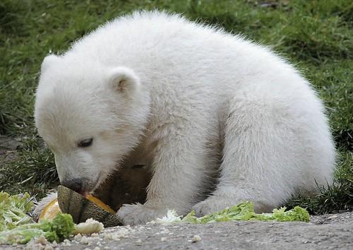 Leckere Honingmelone für den kleinen Eisbären