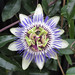 White and purple Passionflower by Monceau