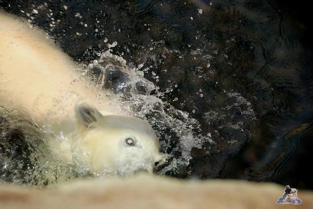 Eisbär Lili im Zoo am Meer Bremerhaven 14.05.2016 Teil 1 028