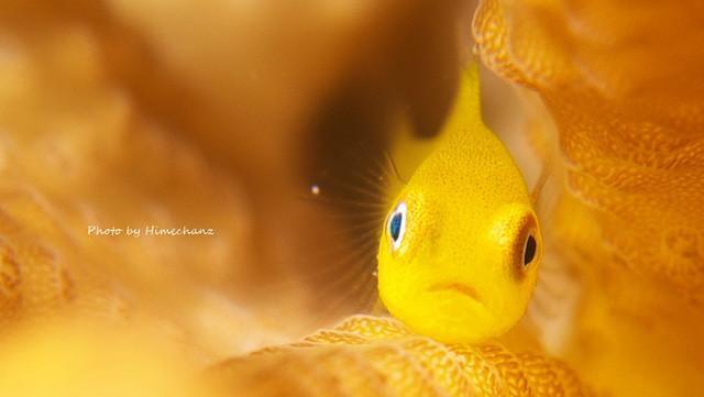 たまらんカワイさのアカネダルマハゼ幼魚