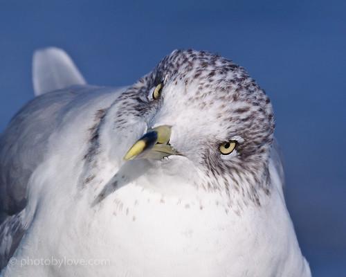 beach sand gull jersey ac atlanticocean eastcoast ringbilledgull citynew njatlantic