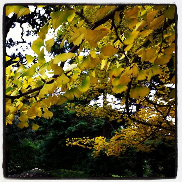 Fall Gingko