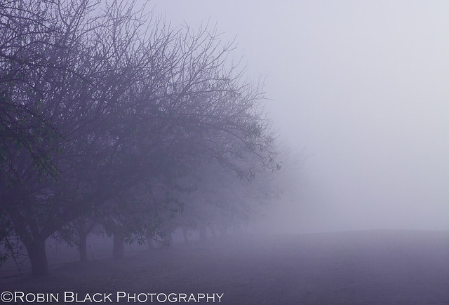 Foggy Orchard, Sierra Foothills