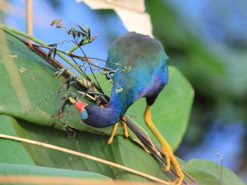 Purple Gallinule 2-20111204