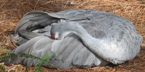 11.26.11 - Tampa Zoo Sandhill Crane