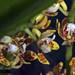 Makunda Flowers-77 - Acampe ochracea