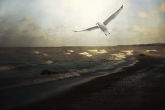 [フリー画像素材] 動物 2, 鴎・カモメ, ビーチ・海岸 ID:201112232200
