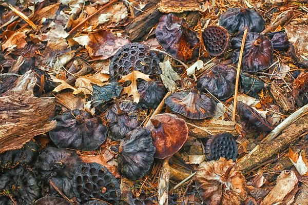 American Lotus Seedheads