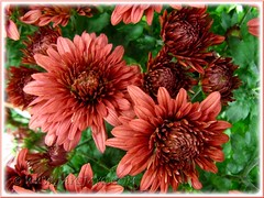 Chrysanthemum hybrid (Mums) with brownish flowers at a garden centre