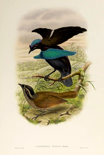 029-Ave del paraiso de Lesser-The birds of New Guinea and the adjacent Papuan islands..1875-1888-Vol I-Gould y Sharpe