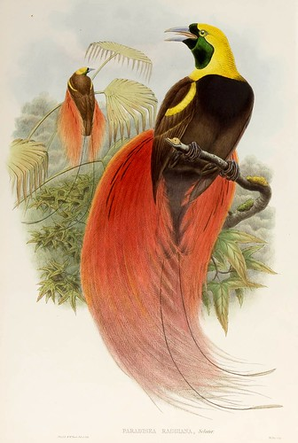 032-Ave del paraiso Marques de Raggi-The birds of New Guinea and the adjacent Papuan islands..1875-1888-Vol I-Gould y Sharpe