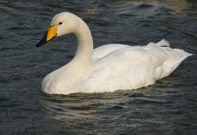 25436 - Whooper Swan, Cosmeston