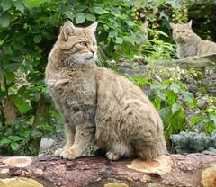 Goldau_A04_wildcats