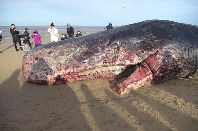 sperm whale Hunstanton beach 4