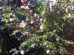 Raleigh Arboretum Camellia
