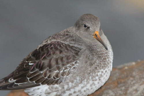 Purple Sandpiper, Muskegon MI, January 7, 2011