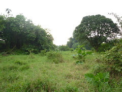 穩定的河岸帶及次生林被挖除(左側)
