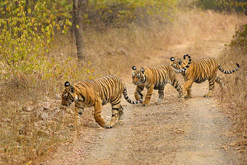 Tiger cubs in Ranthambore