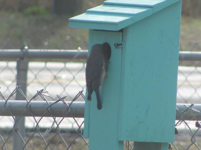 Female bluebird at hole