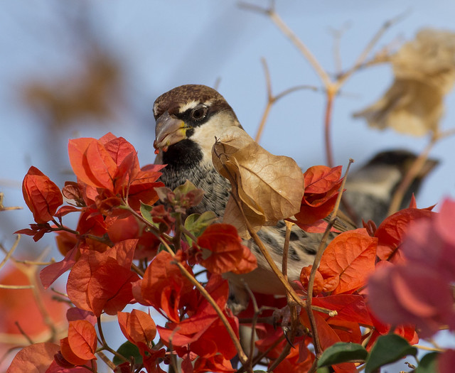 Spanish sparrow in flowers