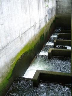 圖二:位在西雅圖巴拉德地區(Ballard)攔河堰上的魚梯。 攝影:Montag2k。本圖適用CC-BY授權。